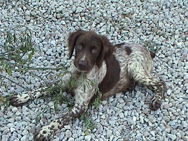 brittany breed dog Liver Roan minepuppy