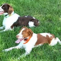 brittany breed dogs minepuppy