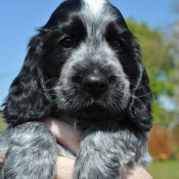 english cocker spaniel dogs puppies Blue Roan minepuppy