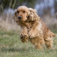 english cocker spaniel dogs puppies Golden minepuppy