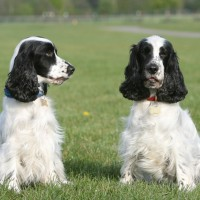 english cocker spaniel dogs puppies black white minepuppy