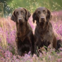 Flat Coated Retriever breed dogs liver minepuppy