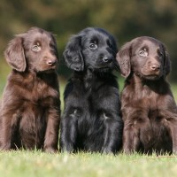 Flat Coated Retriever breed puppies minepuppy