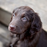 Flat Coated Retriever breed puppy liver minepuppy