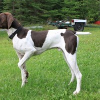german shorthaired pointer dog liver and white minepuppy
