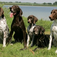german shorthaired pointer dogs coat variation minepuppy