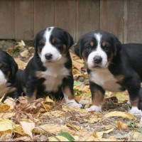 Greater Swiss Mountain Dog breed puppies minepuppy