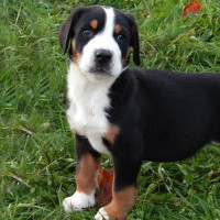 Greater Swiss Mountain Dog breed puppy minepuppy