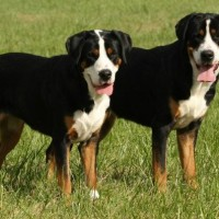 Greater Swiss Mountain Dogs breed minepuppy