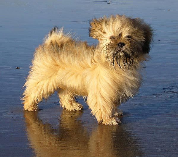 Lhasa Apso breed mini puppy yellow minepuppy