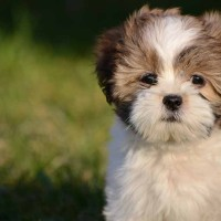 Lhasa Apso breed mini puppy minepuppy