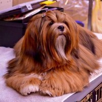 Lhasa Apso breed mini puppy red minepuppy