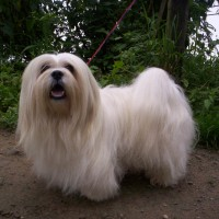 Lhasa Apso breed mini puppy white minepuppy