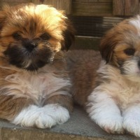 Lhasa Apso dog mini puppies minepuppy