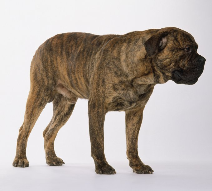 Mastiff breed dog red brindle minepuppy