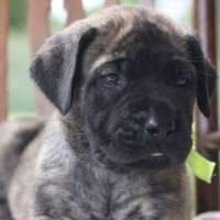 Mastiff breed brindle mini puppy minepuppy