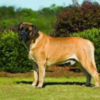 Mastiff breed dog abricot minepuppy