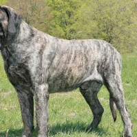 Mastiff breed dog brindle minepuppy