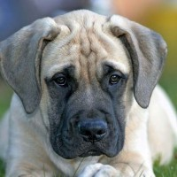 Mastiff breed mini puppy minepuppy