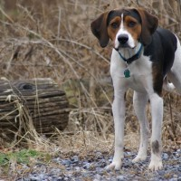 American Foxhound breed minepuppy