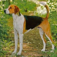 American Foxhound dog breed minepuppy