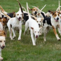 Pack of American Foxhound minepuppy