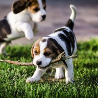 American Foxhound puppies minepuppy