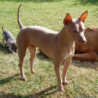 American Hairless Terrier brown dog minepuppy