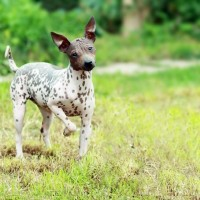 American Hairless Terrier dog minepuppy