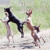 pack of American Hairless Terrier minepuppy