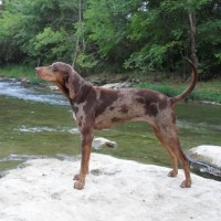 American Leopard Hound breed brown minepuppy