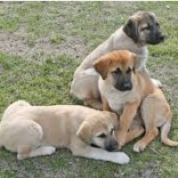 Anatolian Shepherd puppies minepuppy