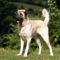 Anatolian Shepherd dog minepuppy