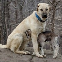 Anatolian Shepherd breed minepuppy