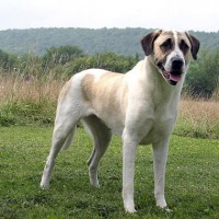 Breed Anatolian Shepherd minepuppy