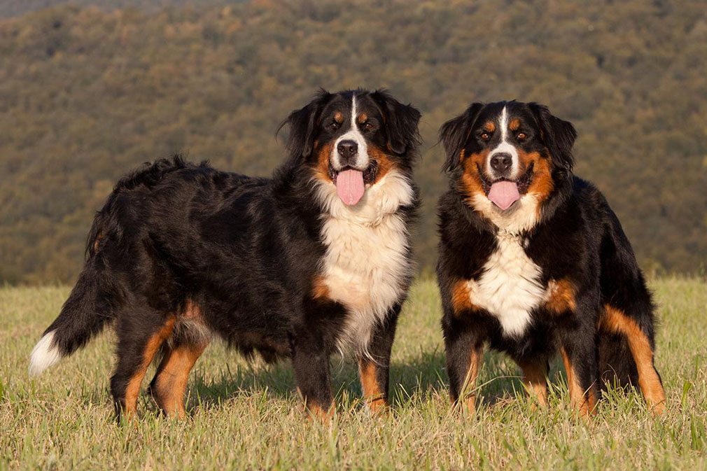 Bernese Mountain Dog breed dogs minepuppy