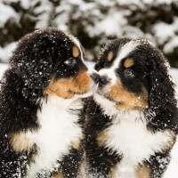 Bernese Mountain Dog breed mini puppies minepuppy