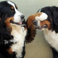 Bernese Mountain Dogs breed minepuppy