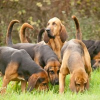 Bloodhound dog pack minepuppy