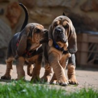 Bloodhound puppies minepuppy