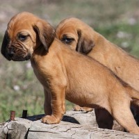 Bloodhound breed puppies minepuppy