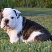 bulldog Brindle White minepuppy