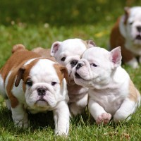 bulldog puppies minepuppy