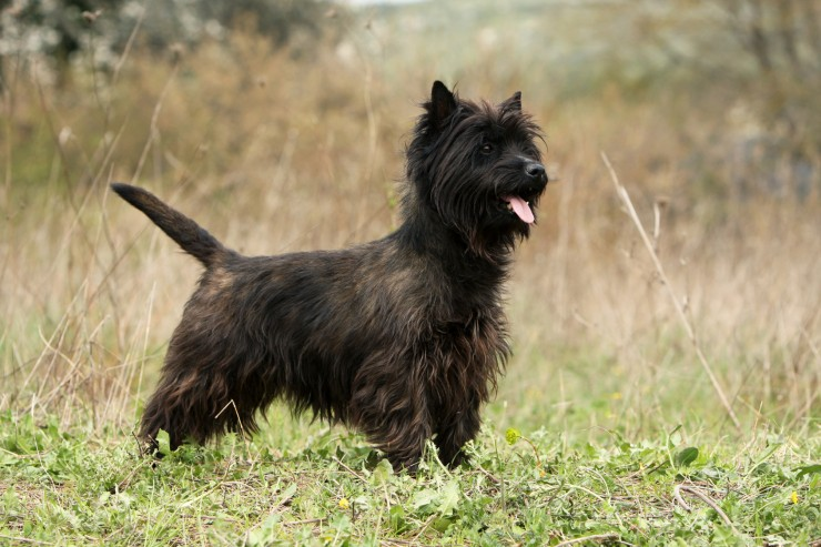 Cairn Terrier breed dog black minepuppy