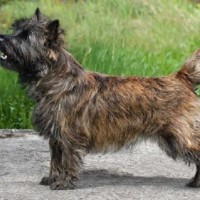 Cairn Terrier breed dog brindle minepuppy