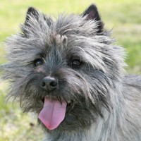 Cairn Terrier breed dog gray minepuppy