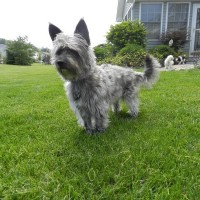 Cairn Terrier breed dog silver minepuppy