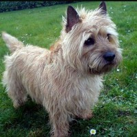 Cairn Terrier breed dog wheaten minepuppy