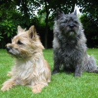 Cairn Terrier breed dogs minepuppy