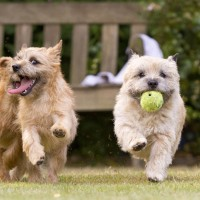 Cairn Terrier breed dogs red minepuppy